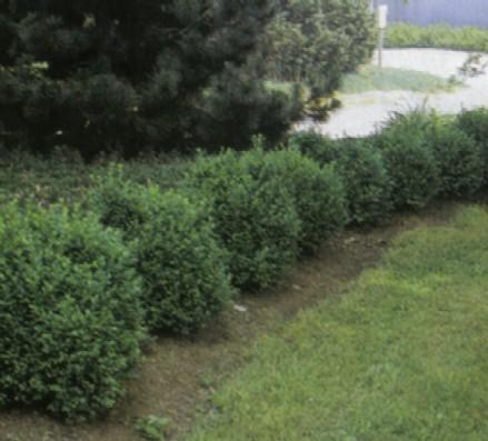 j e nursery evergreens