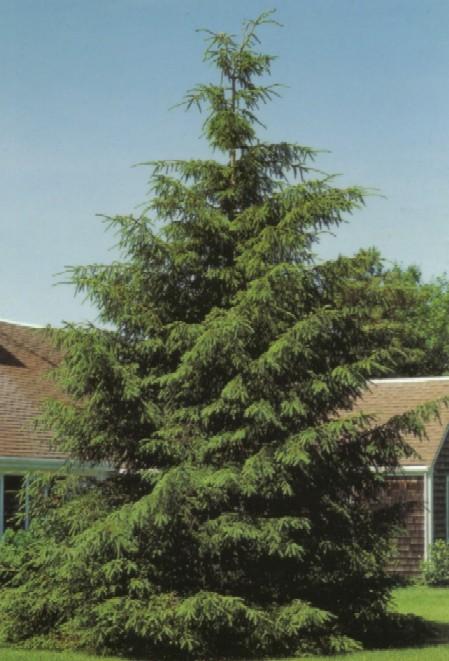 J Amp E Nursery Evergreens